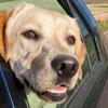 AA backs campaign to prevent dogs dying in locked cars